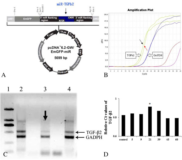 Recombination plasmid for Tg mice with TGF-β2 down-regulation. A : showed the schedules of recombination plasmid for pcDNA6.2-GW/EmGFP-miR of TGF-β2 gene silence, which composed with 5699 nucleotides. The 293T cells were transfected with the transgenic vectors (pcDNA3.1 (+) of pcDNA6.2-GW/EmGFP-miR-TGF-β1). RT-PCR was employed to evaluate the effects of PDGF-BB down-regulation transformants. B : showed the amplification plot of RT-PCR. Red arrows showed the selected cell lines as they had the lowest levels. Black arrow indicated the control ones. C : shows the represented bands of semi-quantity PCR products electrophoresed in 1% agarose gel stained with EB. Lane 1: DL2000 DNA Marker (from up to down: 2000 bp, 1000 bp, 750 bp, 500 bp, 250 bp, 100 bp respectively); Lane 2–4: 293T cells transfected with silence expression vector for TGF-β2 gene (lane 3: NO.21). Arrows in Figure 5 C revealed the target transformants (NO.21) for TGF-β2 expressional silence as they had the lowest levels.