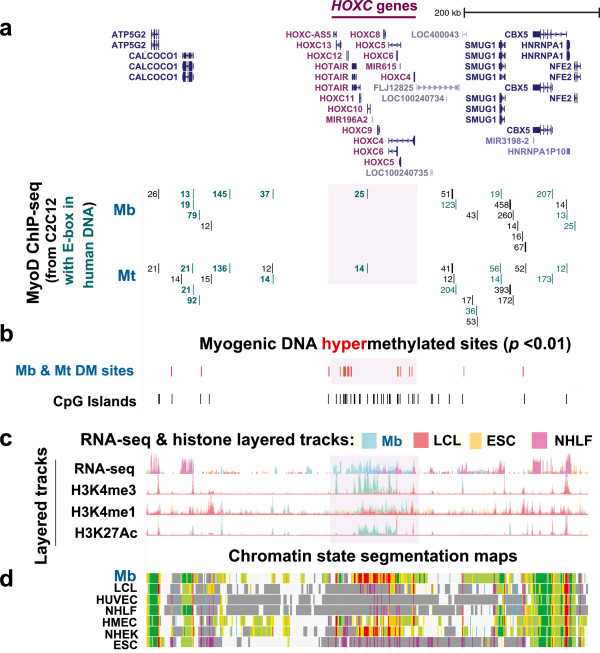 Myogenic hypermethylation, enrichment in CpG islands and extensive myogenesis-associated transcription localized to the 151-kb HOXC cluster. (a) MyoD binding profiles show that inferred MYOD binding sites form a distant border on both sides of the HOXC cluster. MYOD binding sites were extrapolated and are depicted as in Figure 1 . The visualized chromosomal region from the UCSC Genome Browser for this figure is chr12:54,052,006–54,706,150 (654 kb). (b) 119 MbMt-hypermethylated sites and the distribution of CpG islands. (c) Layered RNA-seq track as in Figure 2 with additional layered tracks for H3K4me3, H3K4me1 and H3K27Ac by ChIP-seq (ENCODE/Broad Institute). (d) Chromatin state segmentation analysis as in Figure 1 . The pink-highlighted region is the HOXC gene cluster shown in Figure 2 .