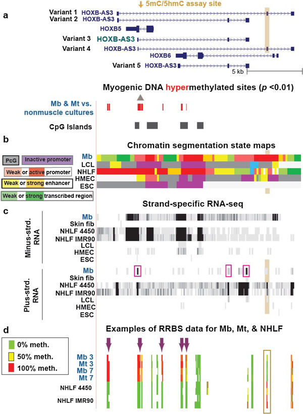 Cell type–specific differences in DNA methylation and transcription in the region containing HOXB5 , HOXB6 and HOXB-AS3 variant genes. (a) 42 MbMt-hypermethylated sites in a subregion of HOXB (chr17:46,665,998–46,684,371). (b) Chromatin segmentation state maps. (c) Strand-specific RNA-seq as in Figure 4 . The pink boxes indicate the RNA-seq evidence for HOXB-AS3 variant 3 as the predominant variant expressed in Mb. (d) RRBS data for two control Mb cell strains and Mt preparations derived from them, as well as two fetal lung fibroblast cell strains analyzed as technical duplicates. Arrows and highlighted subregions are described in the text.