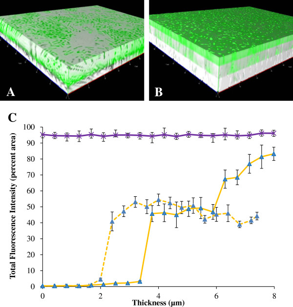 Spatial gene expression of flhD in the parent strain. (A) and (B) are the 3D images constructed from the z- stacked images (bright field and fluorescence) at 12 hours (A) and 51 hours (B) , using BP1470 (AJW678 pPS71). (C) is the quantitative representation of the spatial gene expression of flhD at 12 hours (dashed yellow line) and 51 hours (solid yellow line) of biofilm formation. The purple line is the spatial expression profile from the aceK :: gfp fusion at 34 h.