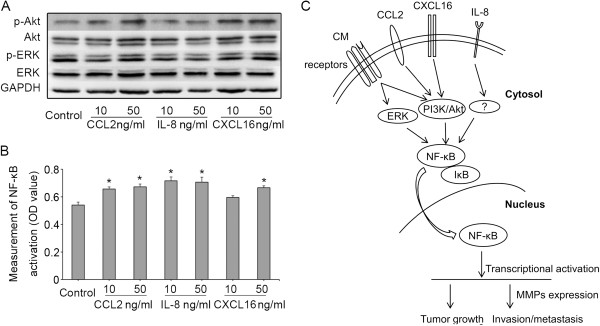 Effects of CCL2, IL-8, and CXCL16 on the activation of the Akt, ERK, and NF-κB pathways in HCC cells. The levels of phosphorylated Akt and ERK in MHCC97H (A) Cells after exposure to CCL2, IL-8, or CXCL16 at different concentrations. (B) Activation of NF-κB in MHCC97H cells were measured using a specific TransAM NF-κB p65 kit under CCL2, IL-8, or CXCL16 stimulation (* P