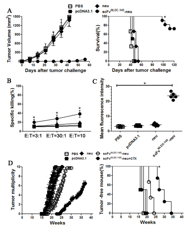 Protective effects of scFv NLDC-145 -neu in transgenic BALB-neuT mice. A female BALB-neuT mice (10 mice per group) were vaccinated with neu or scFv NLDC-145 -neu in left hind limb on days -21 and -7. Control animals received pcDNA3.1 or PBS. On day 0, mice were inoculated s.c. with neu-expressing TUBO cells in opposite flank. Left panel, kinetics of tumor growth; Right panel, survival curve. *, P