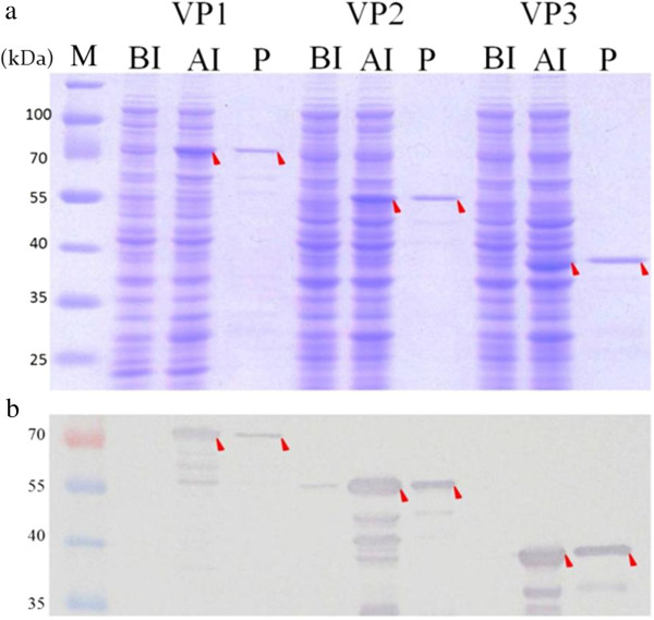 The expression and purification of recombinant CAV viral proteins. The three expression plasmids showed in Figure 1 were express in E. coli BL21 (DE3) and purified by GST affinity chromatography. The recombinant GST-tag proteins were separated by SDS-PAGE (a) and detected by Western-blotting (b) . Anti-GST tag monoclonal antibody was used to recognize the recombinant viral proteins. Lane M, pre-stained protein marker; lane BI, before IPTG induction; lane AI, after IPTG induction and cultivation for 4 hr; lane P, purified recombinant GST-tag protein. The red solid triangles pinpoint the various proteins.