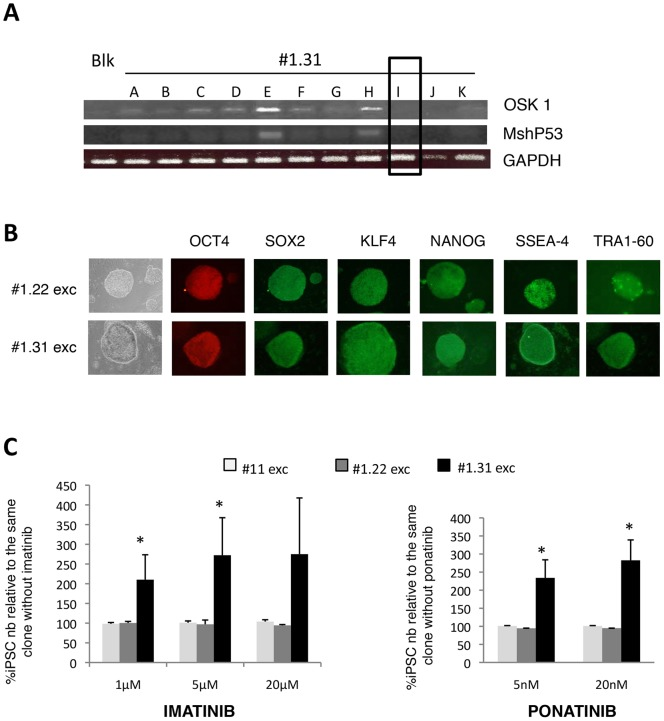 Transgene independence of CML-iPSCs survival in presence of TKI. ( A ) PCR for the integrated vectors OSK 1 and MshP53 in 11 subclones of CML-iPSC #1.31 pretreated with CRE adenovirus. Generation of transgene-free subclone CML-iPSC #1.31i: excision of the 2 vectors. ( B ) Immunohistochemistry of pluripotency markers: OCT4, SOX2, KLF4, NANOG, SSEA-4 and TRA1-60 in human transgene-free iPSC subclones (after excision) derived from CD34 + from CML patient (#1.22 exc and #1.31 exc) ( C ) Dose-effect of TKI exposure (with imatinib (left panel) or ponatinib (right panel)) for 6 days on human excised CML-iPSCs (# 1.22, #1.31) and CB-iPSC (#11) subclones survival. iPSCs counts are conducted at day 6 and expressed as percentages relative to same iPSC clone without TKI. Mean ± SD of triplicate.