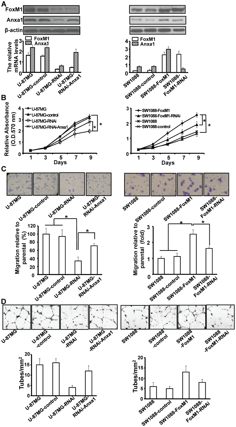 Effect of FoxM1/Anxa1 expression on proliferation and migration of glioma cells in vitro . A, RT-qPCR and Western blot analyses of FoxM1 and Anxa1 expression in stable pcDNA3.1-Anxa1-transfected U-87MG-RNAi cells (left) and Anxa1-shRNA-transfected SW0188-FoxM1 cells (right). B, Cells as in (A) were cultured in 96-well plates and analyzed by MTT assay. Cell proliferation curves were shown in 9 days. Three independent experiments were conducted. C, Cells as in (A) were examined for cell migration motility in 24-well plates with transwell chambers. Migrated cells were stained with crystal violet (upper) and counted under a light microscope (lower). Three independent experiments were conducted. D, the angiogenic potential of glioma cells was determined by endothelial cell tube formation assay. Capillary tube formation in each group was photographed and quantified. * P