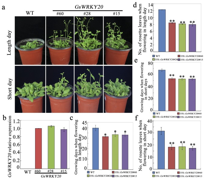 Over-expression of GsWRKY20 in Arabidopsis accelerates plant flowering. ( a ) Flowering time of GsWRKY20 ox plants was accelerated under both LD and SD conditions. (b) qRT-PCR analysis of GsWRKY20 transcript levels in WT and the three homozygous 35S :: GsWRKY20 lines. Expression of ACTIN2 was used as an internal control. The experiment included three fully independent biological repeats, and three technical repeats and the mean value is shown. ( c ) Average flowering time of WT and GsWRKY20 ox plants at the time of flowering under LD conditions. ( d ) Average rosette leaf numbers of WT and GsWRKY20 ox plants at the time of flowering under LD conditions. ( e ) Average flowering time of WT and GsWRKY20 ox plants at the time of flowering under SD conditions. ( f ) Average rosette leaf numbers of WT and GsWRKY20 ox plants at the time of flowering under SD conditions. All values in (c, d, e, f) are means (±S.E.) from three independent experiments (At least 30 seedlings per experiment). Data were analyzed statistically using the t-test, Asterisk and double asterisks indicate significant differences from the corresponding WT at 0.01