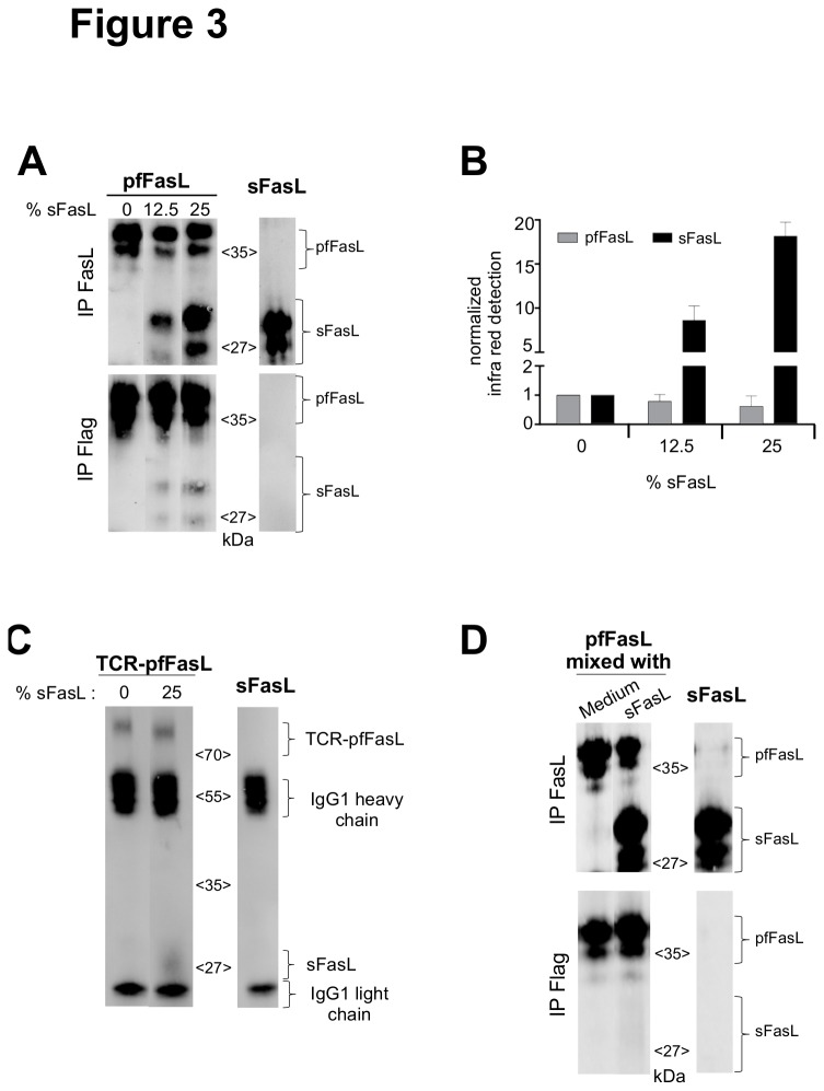 Direct association of sFasL to the pfFasL-containing chimeric proteins during co-expression. Panel A: Identical amounts of pfFasL (1 µg, according to the Flag ELISA) produced in the presence of the indicated ratios of added sFasL plasmid (left panels) was immunoprecipitated with the anti-FasL (upper panel) or anti-Flag (lower panel) antibodies, followed by a SDS-PAGE under reducing conditions and immunoblotting with an anti-FasL antibody. As a control, the same experiment was performed for the sFasL molecule (3 µg according to the FasL ELISA, right panel). Panel B: Densitometric detection and quantification of the pfFasL (grey bars) and the sFasL (black bars) fractions, following transfection of the pfFasL plasmid in the presence of the indicated proportion of the sFasL plasmid. The measures were normalized to the condition lacking sFasL. Mean+/- sd from three experiments. Panel C: The TCR-pfFasL chimera (2 µg, according to an ELISA specific for the TCR-pFasL molecule using anti-TCRδ5 (clone 12C7) and anti-FasL (clone 10F2) as capture and tracing antibodies, respectively), produced in the absence or the presence of the sFasL plasmid at the indicated ratio, was immunoprecipitated with the anti-TCRδ5 antibody, then separated by 10% SDS-PAGE under reducing conditions and revealed by immunoblotting with the anti-FasL antibody. As a control, the immunoprecipitation experiment was performed with 2 µg of sFasL protein. Panel D: COS supernatants containing pfFasL (4 µg/ml according to the Flag ELISA) produced alone, was mixed with culture medium or sFasL (15 µg/ml) produced separately in a total volume of 1 ml, and incubated for 24 h at 37°C. Then the recombinant proteins were immunoprecipitated (left panels) with the anti-FasL (upper panel) or anti-Flag (lower panel) antibodies, followed by a SDS-PAGE under reducing conditions and immunoblotting with an anti-FasL antibody. As a control, the same experiment was performed for the sFasL molecule (15 µg according to the FasL ELISA, right panel).