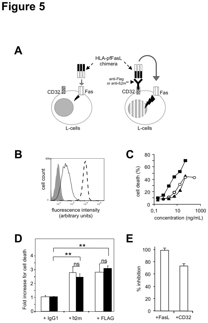 Effect of sFasL on cell targeting of the FasL-containing chimeras. Panel A : Schematic description of the experimental model used. The chimera is enriched at the surface of the CD32-expressing L-cells via its HLA targeting module and an anti-HLA monoclonal antibody. Panel B: murine Fas (continuous line), human CD32 (dashed line) and IgG1 isotype-matched control (shaded histogram) staining of the CD32+ L-cell transfectant. Living cells were gated on the basis of the morphological parameters. Panel C : Fas sensitivity of the CD32+ L-cell transfectant to the indicated concentrations of the anti-Fas JO-2 antibody (circles), the HLA-pfFasL chimera expressed alone (triangle) or in the presence of 25% of the sFasL plasmid (squares), in the MTT viability assay. Panel D : The CD32+ L-cells were incubated with the HLA-pfFasL chimera produced in the presence (black bars) or in the absence (white bars) of 25% of the sFasL plasmid, together with the indicated irrelevant IgG1 isotype-matched, anti-beta-2 microglobulin or anti-Flag antibodies. The concentrations of the chimera that triggered 15% of cell death and were at 15 and 0.3 ng/ml in the absence and presence of sFasL, as estimated using the ELISA specific for the Flag-tagged FasL. Cytotoxicity was measured with the propidium iodide assay and normalized to the effect of the chimera in the absence of antibody. Are presented the mean +/- sd of three independent experiments. Panel E: reversal in the presence of the blocking anti-FasL and anti-CD32 antibodies, of the cytotoxic effect of the immune complexes between the anti-Flag antibody and HLA-pfFasL co-expressed with sFasL. Are presented the mean +/- sd of three independent experiments. ns : non significant ; ** p≤0.02.