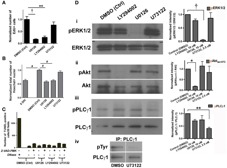 Cell proliferation in adult spinal cord NSPC cultures requires activation of ERK1/2 and Akt. (A) Quantification of the normalized number of EdU+ cells showed that inhibition of ERK1/2 (with MEK inhibitor, U0126, 10 μ M) and Akt (with PI3K inhibitor, LY294002, 10 μ M) activation suppressed proliferation of adult spinal cord cells at 4 DIV; inhibition of PLCγ activation (with U73122, 2.5 μ M) had no effect (10 random fields with a 40× objective per coverslip were analyzed, n = 3 coverslips; ** P