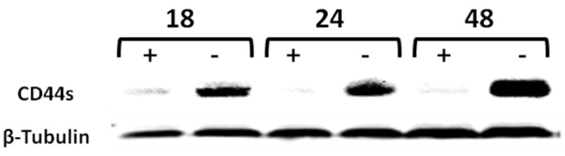 Time-course western-blot validation of the tetracycline (tet) regulated CD44 expression in MCF7F-B5 breast cancer cell line. Protein lysates were collected at different time points (18, 24 and 48hrs) following withdrawal of tet, in the presence of hyaluronan (HA). The level of expression of CD44s showed a time-dependent increase and was maintained up to 48 hrs.