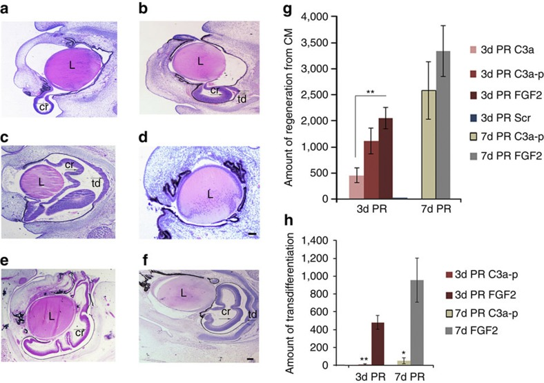 C3a induces chick retina regeneration. ( a – d ) Histological analysis at 3 days (d) PR after treatment with either C3a ( a ), the carboxy terminus of C3a (C3a-p) ( b ), FGF2 ( c ) or a scrambled C3a fragment (Scr) ( d ). ( e , f ) Histological analysis at 7d PR after treatment with C3a-p ( e ) or FGF2 ( f ). Scale bar, 100 μm ( a – f ). Scale bar in f also applies to a – c and e . ( g ) Statistical analysis of the quantification of regeneration from the CM comparing C3a ( n =7 with 5/7 showing regeneration); C3a-p ( n =11 at 3d PR with 9 showing regeneration and n =12 at 7d PR with 8 showing regeneration) and FGF2 treatment ( n =10 at 3d PR with 10 showing regeneration and n =10 at 7d PR with 9 showing regeneration). The regeneration induced by the entire C3a fragment was significantly lower than that induced by FGF2 at 3d PR ( P =0.0045) using a two-tailed permutation test. Error bars represent s.e.m. ( h ) Statistical analysis of the quantification of regeneration comparing the regeneration from transdifferentation of the RPE in response to C3a-p and FGF2. Transdifferentiation in C3a-p-treated eyes was significantly less than that in FGF2-treated eyes at both 3d ( P =0.0012) and 7d PR ( P =0.0182) using a two-tailed permutation test. * P