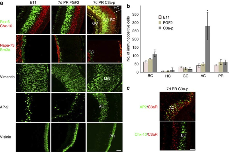 C3a-p regenerates a retina from the CM with all retinal cell types present. ( a ) Immunohistochemical staining using antibodies against cell-specific markers at 7 days (d) PR. Retinal cell types in a developmentally equivalent eye (E11) as well as retinal cell types regenerated in response to FGF2 are shown for comparison. Pax-6 (green) is a specific marker for ganglion (GC), amacrine (AC) and horizontal cells (HC); Chx-10 (red) is a specific marker for bipolar cells (BC). Napa-73 (red) is specific for ganglion cell axons and Brn-3a (green) is specific for GC. Vimentin is specific for Müller glia (MG) cells, AP-2 is specific for AC and visinin is specific for photoreceptors (PR). Images are sections from the posterior region of the eye (see Supplementary Fig. S1a for eye schematic). The scale bar in the last panel represents 20 μm and applies to all panels. ( b ) Statistical analysis of the number of each retinal cell type shows that there is a significant increase in AC ( P =0.01) and BC ( P =0.03) in the regenerated retina in C3a-p-treated eyes when compared with the FGF2-treated eyes. The number of GC was determined by counting Brn3a + cells; the number of AC was determined by counting the number of AP-2 + cells; the number of BC by Chx-10 staining; HC by Pax-6 and PR by visinin staining ( n =5 different eyes). A two-tailed permutation test was used for statistical analysis. Error bars represent s.e.m. The mean number of immunopositive cells, s.e.m. and range are given in Supplementary Table S8 . * P