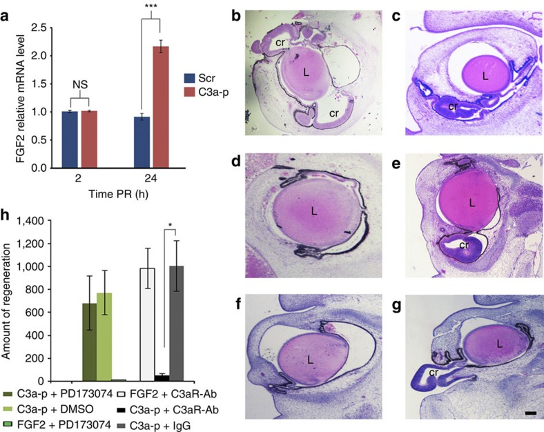 C3a-p induction of chick retina regeneration is independent of FGF2. ( a ) RT–qPCR shows the level of FGF2 expression stimulated by treatment with C3a-p in the CM at 2 h PR and 24 h PR. The level of FGF2 expression was normalized to the level expressed in the CM of eyes undergoing retinectomy without treatment. Error bars represent s.e.m. The mean ratio of FGF2 expression to GAPDH expression, together with the s.e.m. and range, is provided in Supplementary Table S5 . Significance was determined by comparing the expression of FGF2 in eyes treated with C3a-p to that in eyes treated with scrambled peptide (Scr). P- value=0.0003 using the Student's t -test.; n =3 biological samples done in triplicate. *** P