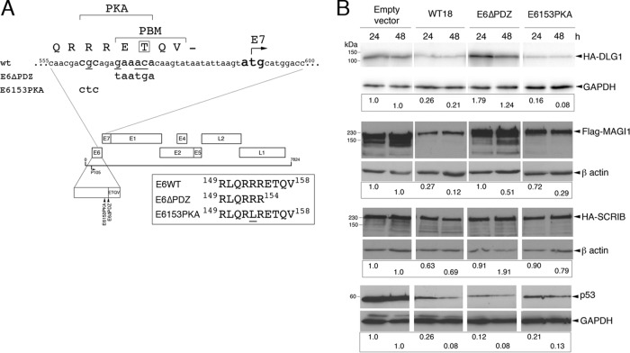 Details of E6 C-terminal mutations in HPV18 genomes and analysis of the activity of these mutations in an in vivo degradation assay. (A) Two mutant HPV18 genomes were constructed. E6ΔPDZ contains base substitutions at nucleotides 567, 570, and 571, thereby altering the codons for glutamic acid 155 and threonine 156 to translation termination codons. This mutant genome supports expression of an E6 protein in which the PBM, ETQV, is deleted. E6153PKA contains a single base substitution at nucleotide 562 that alters the codon for arginine 153 to leucine; the mutant protein expressed from this genome is not a substrate for PKA and targets cellular PDZ proteins in a constitutive, PKA-independent manner ( 17 ). The position of the initiator methionine codon for the E7 protein, which is separated from the translation termination codon of E6 by 8 nucleotides, is indicated. (B) In vivo E6-mediated degradation assays of epitope-tagged PDZ domain-containing targets (DLG1, MAGI-1, and SCRIB) and p53. Urea-soluble cell extracts were harvested at 24 and 48 h posttransfection, and the level of E6 targets was assessed by Western blotting. Each antibody data set (all four transfections) was taken from the same exposure. Shown below each degradation experiment are the amounts of PDZ proteins or p53 remaining relative to the transfections with empty vector (following normalization to the loading control [GAPDH or β-actin]). The efficiency of transfections of each set of expression plasmids was monitored by inclusion of a GFP-expressing plasmid, and the efficiencies were shown to be equivalent (WT, 32%; E6153PKA, 33%; E6ΔPDZ, 32%) between the cotransfections.