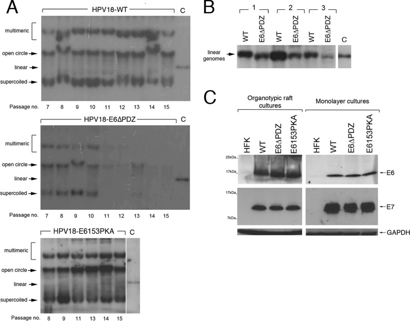 Stable maintenance of HPV18 episomes is dependent on E6 PBM function but independent of PKA recognition. (A) Southern analysis of equal amounts of total DNA extracted from HFK transfected with wild-type (HPV18-WT) or mutant (HPV18-E6ΔPDZ and HPV18-E6153PKA) genomes upon serial passaging of the cells. To assess for the presence of episomal forms (supercoils and open circles) of the viral genome, the DNA was restricted with the endonuclease BglII, which does not digest the HPV18 genome. To control for the presence of bacterially derived input DNA, the digests included the endonuclease DpnI. Linearized HPV18 genomes are shown as a copy number control (lane C [5 copies per cell]). (B) The E6ΔPDZ genomes establish at a lower copy number in HFK than the WT genomes, as shown by Southern analysis of total DNA taken from three different donors (passages P5 and P6) and digested with EcoRI, which linearizes HPV18 episomes, and DpnI (lane C, 5 copies per cell). (C) Detection of E6 and E7 proteins in equal amounts of NP-40 detergent-soluble protein lysates prepared from cells grown in monolayer cultures or from organotypic raft cultures. Levels of GAPDH were used as a loading control.