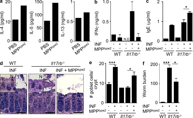 IL-25–elicited MPP type2 cells promote Th2 cytokine–dependent responses in vivo. <t>C57BL/6</t> WT mice (The Jackson Laboratory) were treated i.p. with 0.3 µg IL-25 daily for 7 d. MLNs were harvested, and MPP type2 cells were sort-purified and injected intradermally into naive C57BL/6 WT mice. (a) IL-4, IL-5, and IL-13 cytokine production from skin-draining LN cells from mice receiving intradermal injection of control or IL-25–elicited MPP type2 cells after 48-h αCD3/αCD28 stimulation measured by ELISA. Data in a are representative of two independent experiments. (b–f) C57BL/6 WT mice were treated i.p. with 0.3 µg IL-25 daily for 7 d. MLNs were harvested, and MPP type2 cells were sort-purified and injected into T. muris –infected (INF) Il17rb −/− mice (Charles River). (b) IFN-γ cytokine production by T. muris antigen–stimulated MLN cells. (c) Total serum IgE antibody titers measured by ELISA. (d) Periodic acid–Schiff/Alcian blue–stained colon sections of intestine tissue from naive or infected WT or Il17rb −/− mice ± MPP type2 cells. N, naive (inset). Bars, 100 µm. (e) Goblet cell counts from d. (f) Worm burdens from T. muris –infected mice were assessed at day 21 after infection. Data in b–f are representative of two independent experiments (WT naive, n = 2–3; WT INF, n = 6–8; Il17rb −/− naive, n = 2–3; Il17rb −/− INF, n = 6–7; Il17rb −/− INF + MPP type2 cells, n = 6). *, P