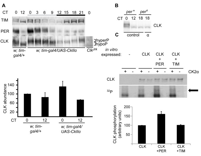 CK2α overexpression induces CLK hyperphosphorylation in the presence of PER. (A, B) Western blot of nonsonicated head extracts from flies collected at DD1. Samples were run on 3–8% Tris-Acetate gels in order to better resolve hyperphosphorylated CLK and TIM forms. Gray and black bars represent subjective day and subjective night, respectively. At least two independent experiments were performed for each blot. (A, Top) Comparison between tim > CkIIα and tim-gal4/+ controls in a per + background, for TIM, PER, and CLK proteins. (Bottom) Two independent experiments as above were quantified for CLK abundance, and the mean values are plotted. Error bars stand for the difference of the respective values from each experiment and their mean. The value of w; tim-gal4/+ at CT0 was normalized to 100. (B) Comparison between per 0 ; tim > CkIIα and per 0 ; tim-gal4/+ controls for CLK. (C) CK2α phosphorylates CLK in vitro . (Top) Wild-type CLK was translated with a N-terminal 6-histidine fusion tag in vitro , affinity purified either in the absence or presence of PER or TIM, and subjected to phosphorylation assays by incubation with γ– 32 P-ATP either in the absence (−) or presence (+) of CK2α. Intensity of incorporated 32 P-phosphate into CLK ( 32 P) was analyzed by autoradiography and total CLK protein levels (CLK) were determined by Western blot analysis. The arrow indicates the position of phosphorylated CLK. (Bottom) Quantification of CLK-incorporated 32 P-phosphate after normalization towards total CLK protein levels. Average CLK phosphorylation from at least three experiments ± s.e.m. are shown in the figure with wild-type CLK set to 100.