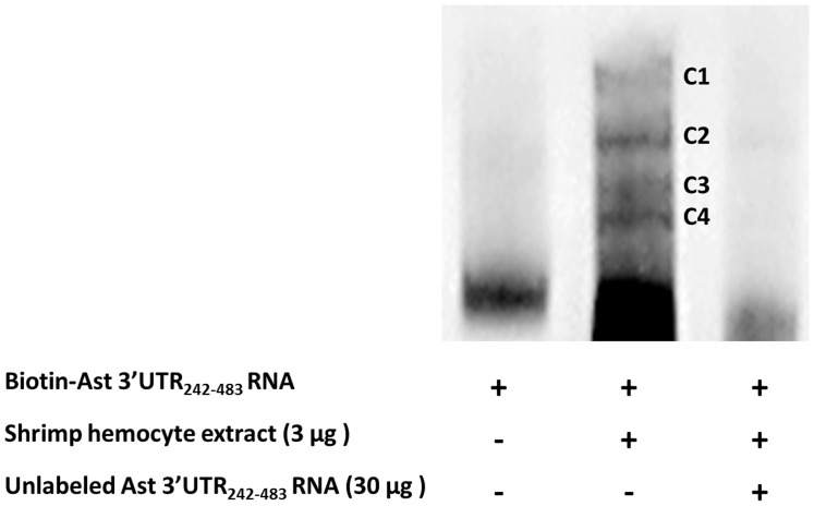 Multiple protein complexes are associated with Ast 3′-UTR 242–483 . RNA EMSA analysis of Ast 3′-UTR 242–483 RNA incubated with shrimp hemocyte extracts shows that four protein complexes are associated with Ast 3′-UTR 242–483 (C1–C4).