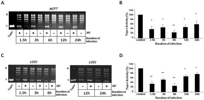 Infection of cells with live M. fermentans inhibits the <t>DNA</t> relaxation activity of Topo I. MCF7 (A,B) and U251 (C,D) cancer cells were infected with live M. fermentans ( M.f ) for various intervals at MOI of 10 3 CFU/cell. Total nuclear protein (12.5 ng) was added to a specific reaction mixture for Topo I. Reaction products were analyzed by agarose gel electrophoresis. ( A,C ) A representative picture (n = 4–5) of Topo I DNA-relaxation activity. ( B,D ) Quantification analysis of Topo I activity. Symbols: R and S are the relaxed and <t>supercoiled</t> form of the <t>pUC19</t> DNA, respectively; Topo- no protein added to the reaction mixture. t -test: * p