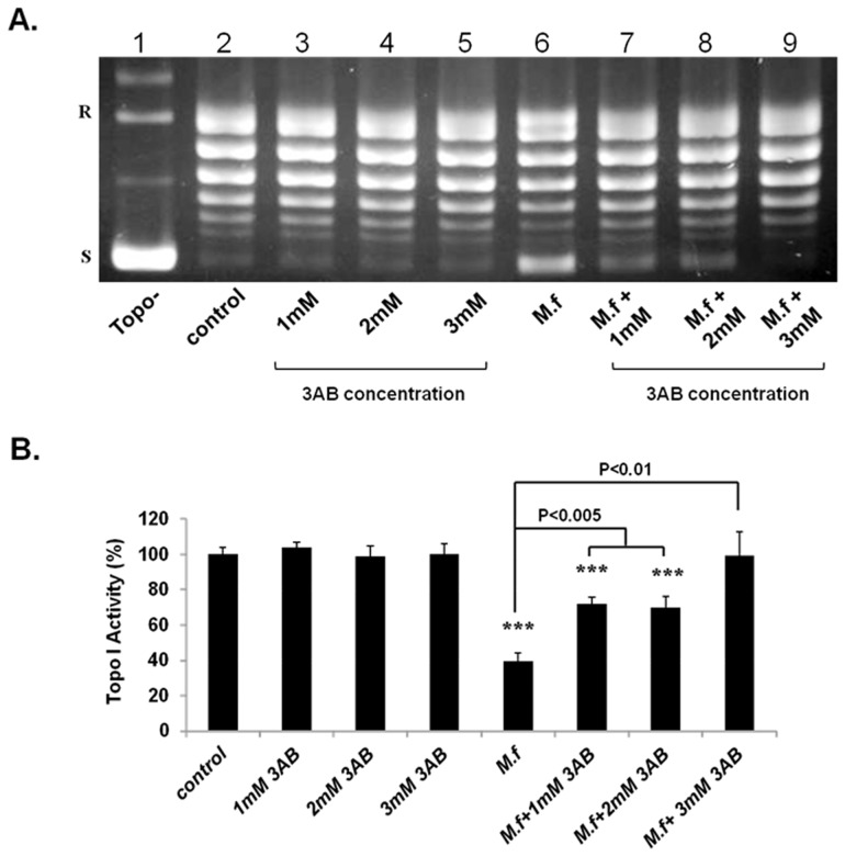 PARP inhibitor prevented the Mycoplasma-induced inhibitory effect on Topo I activity. MCF7 cells were pre-incubated with 3-aminobenzamide (3AB) for 1 hr at various concentrations followed by M. fermentans infection (MOI of 10 3 CFU/cell) for an additional 6 hrs. Total nuclear protein (12.5 ng) was added to a specific reaction mixture for Topo I. Reaction products were analyzed by agarose gel electrophoresis (A) and quantification of Topo I activity was performed (B). Symbols: R and S are the relaxed and supercoiled form of the pUC19 DNA, respectively, Topo- no protein added to the reaction mixture t -test: * p