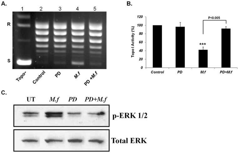 The Effect of MEK inhibitor on Mycoplasma-induced inhibitory effect on Topo I activity and on ERK 1/2 Phosphorylation in MCF7 cells. MCF7 cells were pre-incubated with MEK inhibitors (PD) for 1 hour at a concentration of 25 µM followed by M. fermentans infection (MOI of 10 3 CFU/cell) for an additional 6 hrs. Total nuclear protein (12.5 ng) was added to a specific reaction mixture for Topo I. Reaction products were analyzed by agarose gel electrophoresis (A) and Topo I activity was quantified (B). Phosphorylated ERK 1/2 protein level from MCF7-extract was examined by Western blot analysis (C). Symbols: R and S are the relaxed and supercoiled form of the pUC19 DNA, respectively, Topo- no protein added to the reaction mixture t -test: *** p