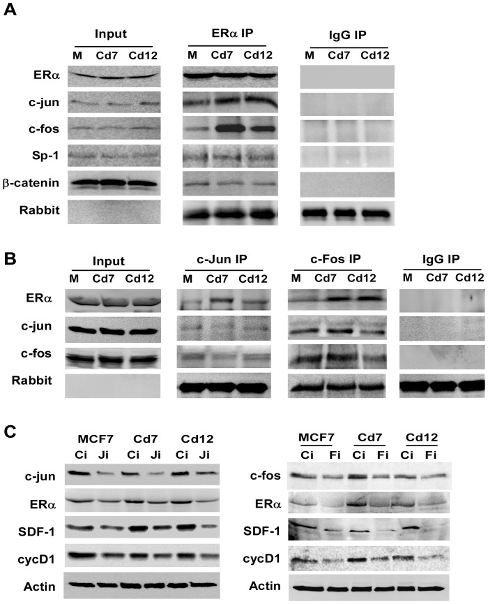 Prolonged exposure to cadmium enhances the interactions of ERα with c-jun and c-fos. ( A ) MCF7, Cd7 and Cd12 cell lysates were immunoprecipitated with either α-ERα or normal rabbit IgG. Proteins interacting with ERα were analyzed with Western blot analysis. ( B ) Reverse co-IP was performed with α-c-jun, α-c-fos, or normal rabbit IgG. ( C ) MCF7, Cd7 and Cd12 were plated in 6-well plates and transfected with siRNA targeting either c-jun (Ji), c-fos (Fi) or a scramble siRNA control (Ci) and collected 48 hours later for protein analysis.