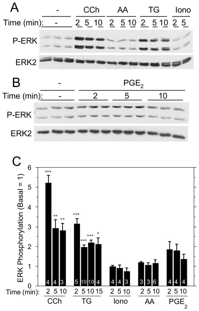 Time course of the effects of [Ca 2+ ] i -elevating and other agents on ERK1/2 phosphorylation in rat parotid acinar cells. A. Comparison of effects of carbachol (10 µM), arachidonic acid (8 µM), TG (1 µM), and ionomycin (1 µM). B. Effect of PGE 2 (10 µM). C. Quantitative comparison of multiple agents on ERK1/2 phosphorylation relative to basal. Number of individual experiments is indicated at bottom of the bars. ***p