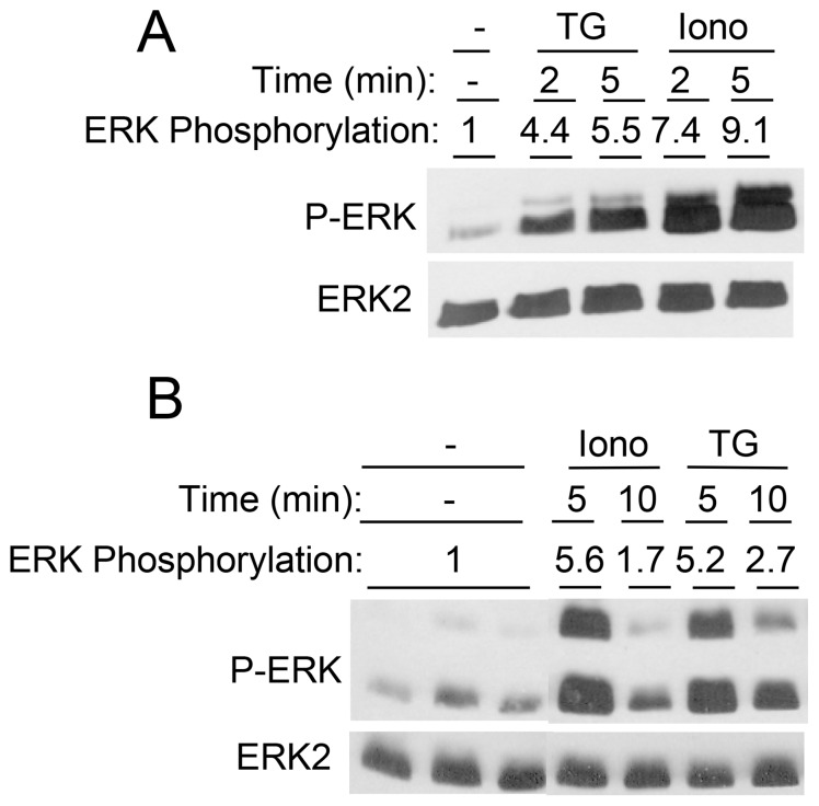 Time course of the effects of [Ca 2+ ] i -elevating stimuli on ERK1/2 phosphorylation in salivary gland cell lines. HSY cells (A) and Par-C10 cells (B) were exposed to TG (1 µM) and ionomycin (1 µM) for various times, as indicated. Values shown are for ERK1/2 phosphorylations (normalized to total ERK2) relative to basal conditions.