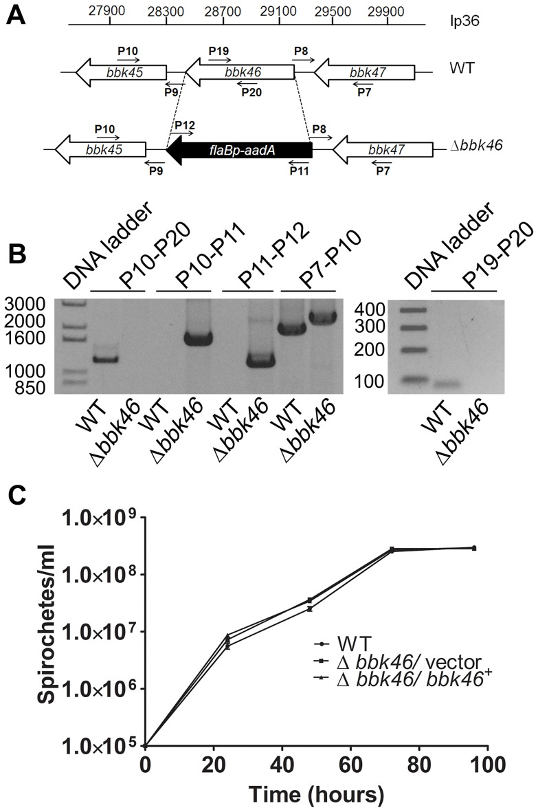 Generation of the Δ bbk46 mutant and genetic complemented clones in B. burgdorferi . (A) Schematic representation of the wild-type (WT) and Δ bbk46 loci on lp36. The sequence of the entire bbk46 open reading frame was replaced with a flaB p - aadA antibiotic resistance cassette [37] , [82] . Locations of primers for analysis of the mutant clones are indicated with small arrows and labels P7–P12, P19 and P20. Primer sequences are listed in Table 5 . (B) PCR analysis of the Δ bbk46 mutant clone. Genomic DNA isolated from WT and Δ bbk46/ vector spirochetes served as the template DNA for PCR analyses. DNA templates are indicated across the bottom of the gel image. The primer pairs used to amplify specific DNA sequences are indicated at the top of the gel image and correspond to target sequences as shown in A. Migration of the DNA ladder in base pairs is shown to the left of each image. (C) In vitro growth analysis of mutant clones. A3-68ΔBBE02 (WT), bbk46 :: flaB p - aadA /pBSV2G (Δ bbk46 /vector) and bbk46 :: flaB p - aadA /pBSV2G- bbk46 (Δ bbk46 / bbk46 + ) spirochetes were inoculated in triplicate at a density of 1×10 5 spirochetes/ml in 5 ml of BSKII medium. Spirochete densities were determined every 24 hours under dark field microscopy using a Petroff-Hausser chamber over the course of 96 hours. The data are represented as the number of spirochetes per ml over time (hours) and is expressed as the average of 3 biological replicates. Error bars indicate the standard deviation from the mean.