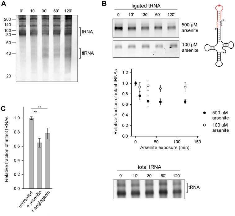 Oxidative stress-mediated tRNA cleavage in HeLa cells. (A) Minor fraction tiRNAs are generated by longer exposure to 500 µM arsenite ( > 30 min). The numbers on the left denote the DNA ladder in nt. (B) Arsenite alters the integrity of the 3′-CCA end of full-length tRNAs in a dose-dependent manner. The amount of tRNAs with intact CCA ends was analyzed by their ability to ligate to a fluorescently labeled oligonucleotide (schematic inset) which forms a loop and binds only intact 3′-CCA ends (upper two gels). The intensity of tRNAs with intact CCA termini was quantified from the gels, normalized to the total tRNA amount at each time point and presented as relative values ± SEM (from three independent experiments) to the amount of initial, untreated sample which was set as 1.0. The amount of the total tRNA remained almost unchanged when cells were exposed to arsenite (500 µM) and visualized by SYBR Green (bottom gel marked as total tRNA). (C) Increase of the cellular concentration of angiogenin alters the 3′-CCA integrity of tRNAs. Angiogenin was upregulated by ectopic expression under the control of a CMV promoter for 8 h (+angiogenin). The sample representing arsenite stress (+arsenite) corresponds to the 60-min data point at 500 µM arsenite in panel (B) and is used for comparison. The intensity of tRNAs with intact CCA termini was the quantified as described for panel (B). ** for p