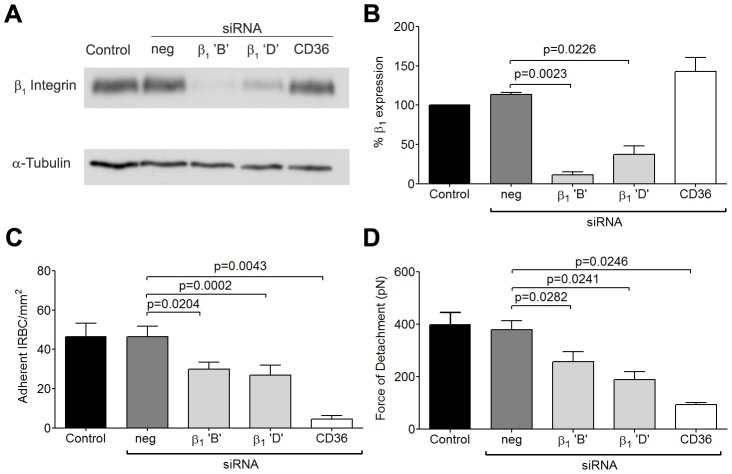 Inhibition of cytoadherence and adhesive strength on HDMEC transfected with small interference RNA of β 1 integrin. (A) Western blot analysis of HDMEC lysates 72 h after transfection with 20 nM of negative siRNA and siRNA for β 1 integrin 'B' and 'D', and CD36. Blots were probed with mAb anti-β 1 integrin TS2/16 (top) and anti-α-tubulin (bottom). Results shown are representative of 3 independent experiments. (B) Densitometric analysis showing the effectiveness of the knockdown of β 1 integrin (n = 3). (C) Adhesion of IRBC to β 1 integrin and CD36 knock down endothelial monolayers (n = 3). (D) Force of detachment for IRBC on β 1 integrin and CD36 knock down endothelial monolayers (n = 4).