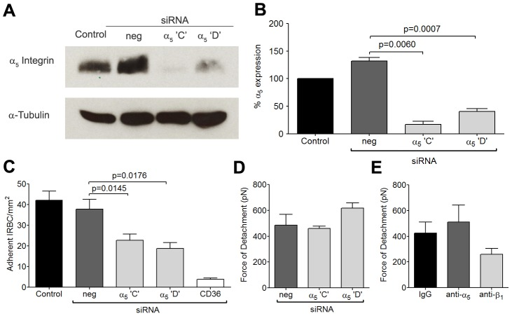 Inhibition of cytoadherence but not adhesive strength on HDMEC transfected with small interference RNA of α 5 <t>integrin.</t> (A) Western blot analysis of HDMEC lysates 72 h after transfection with 20 nM of negative <t>siRNA</t> and siRNA for α 5 integrin 'C' and 'D, and CD36. Blots were probed with a polyclonal anti-α 5 integrin antibody (top) and a monoclonal anti-α-tubulin antibody (bottom). Results shown are representative of 3 independent experiments. (B) Densitometric analysis showing the effectiveness of the knockdown of α 5 integrin (n = 3). (C) Adhesion of IRBC to α 5 integrin knockdown endothelial monolayers (n = 3). (D) Force of detachment for IRBC on α 5 integrin knockdown endothelial monolayers (n = 2). (E) Force of detachment for IRBC on endothelial monolayers pre-incubated with the anti-α 5 mAb JBS5 (n = 2). Results for (D) and (E) are shown as mean ± SD.