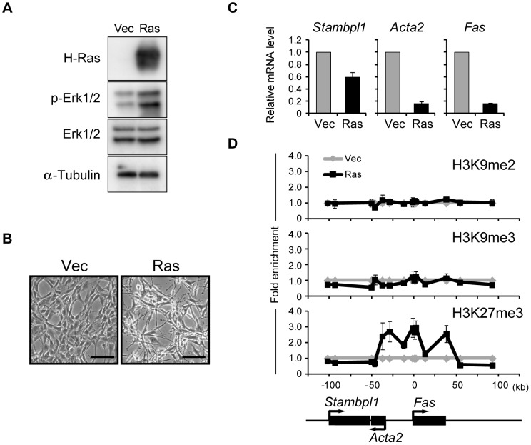 Activation of Ras signaling increases H3K27me3 abundance at the Fas locus in NIH 3T3 cells. ( A ) Immunoblot analysis of H-Ras, phosphorylated (p-) and total forms of Erk1/2, and α-tubulin (loading control) in the cytosolic fraction of NIH 3T3 cells expressing human H-Ras(G12V) (Ras cells) and control (Vec) cells. ( B ) Phase-contrast images of Ras and Vec cells. Scale bars, 100 µm. ( C ) RT-qPCR analysis of Fas , Acta2 , and Stambpl1 expression in Ras cells relative to that in Vec cells. Data are means ± SE from five independent experiments. ( D ) ChIP-qPCR analysis of H3K9me2, H3K9me3, and H3K27me3 at the Fas locus in Ras and Vec cells. The positions of genes on the chromosome and their transcriptional orientation are indicated at the bottom of the panel. Data are expressed as fold enrichment relative to the value for Vec cells at each position, and are means ± SE from at least two independent experiments.