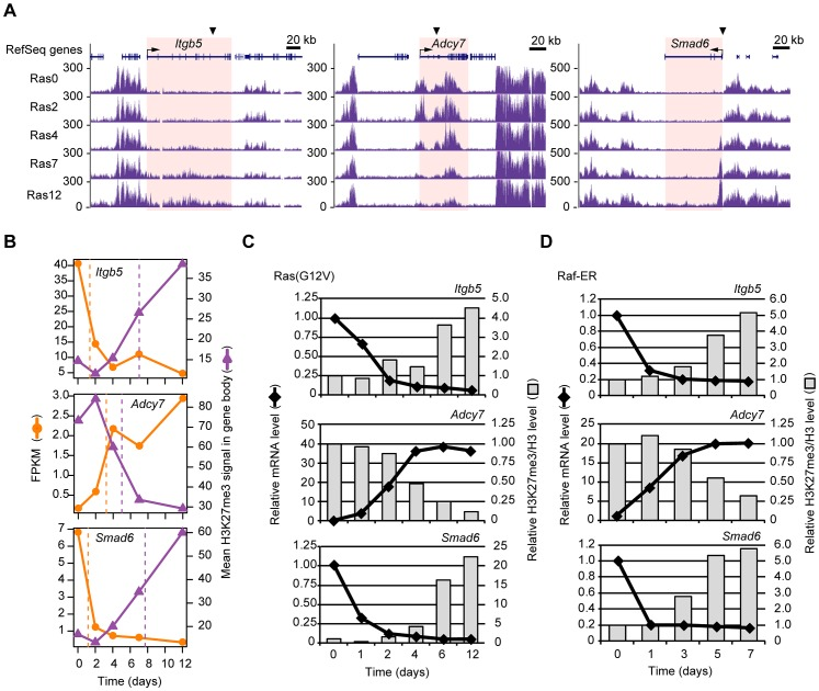Validation of the temporal sequence of changes in gene expression and H3K27me3 level induced by Ras signaling. ( A ) Time course of changes in H3K27me3 level at the Itgb5 , Adcy7 , and Smad6 loci as determined by ChIP-seq analysis of Ras0 cells and cells infected with the retroviral vector for H-Ras(G12V) for 2, 4, 7, or 12 days. The regions for which the mean H3K27me3 level and corresponding t-half were calculated are highlighted in pink. ( B ) Changes in gene expression (FPKM) and mean H3K27me3 level for Itgb5 , Adcy7 , and Smad6 . The t-half values are indicated by the dashed lines. ( C ) RT-qPCR analysis of gene expression and ChIP-qPCR analysis of the ratio of H3K27me3 to total H3 for Itgb5 , Adcy7 , and Smad6 at the indicated times after introduction of the retroviral vector for H-Ras(G12V). Data are expressed relative to the corresponding value for time 0. The positions of PCR primers are indicated by arrowheads in (A), and correspond to positions e for Itgb5 and i for Adcy7 shown in Figure S4 . Data are representative of four independent experiments. ( D ) Gene expression (RT-qPCR) and the ratio of H3K27me3 to total H3 (ChIP-qPCR) at the indicated times after exposure of NIH 3T3 cells expressing Raf-ER to 4HT. Data are representative of four independent experiments.