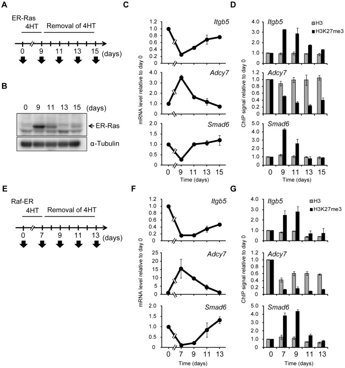Ras-induced H3K27me3 accumulation and transcriptional changes are reversed by inactivation of Ras signaling. ( A ) Time line for exposure to and removal of 4HT as well as sample analysis (arrows) for NIH 3T3–ER-Ras cells studied in (B) through (D). ( B ) Immunoblot analysis of ER-Ras (arrow) and α-tubulin in the cytosolic fraction of the cells. ( C ) RT-qPCR analysis of relative Itgb5 , Adcy7 , and Smad6 expression. Data are means ± SE from two independent experiments. ( D ) ChIP-qPCR analysis of H3K27me3 and total H3 levels for the regions of Itgb5 , Adcy7 , and Smad6 indicated in Figure 4A . Data are means ± SE from two independent experiments. ( E ) Time line for exposure to and removal of 4HT as well as sample analysis (arrows) for NIH 3T3–Raf-ER cells studied in (F) and (G). ( F ) RT-qPCR analysis of relative Itgb5 , Adcy7 , and Smad6 expression. Data are means ± SE from two independent experiments. ( G ) ChIP-qPCR analysis of H3K27me3 and total H3 at Itgb5 , Adcy7 , and Smad6 . Data are means ± SE from two independent experiments. The position of PCR primers of Itgb5 correspond to positions c in Figure S4A .