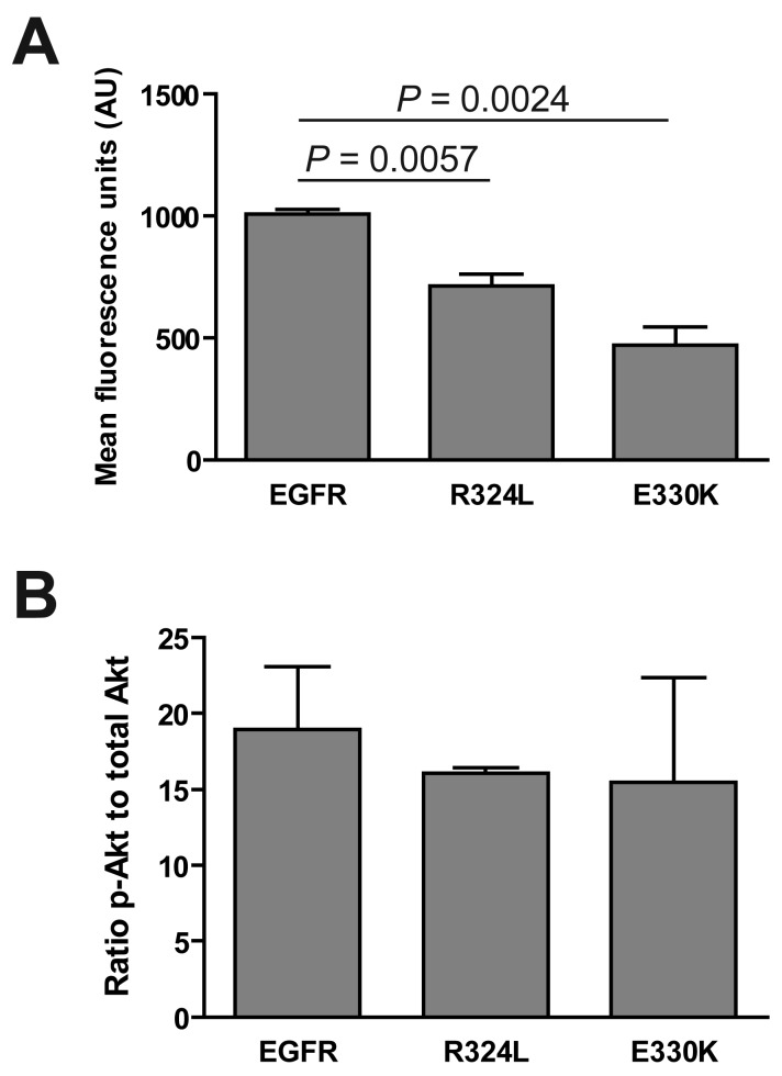 Activation of downstream pathways by mutant EGFR. Transgenic NR6 cells expressing wtEGFR, R324L and E330K were plated under serum free conditions and then lysed and tested by <t>Bioplex</t> for ( A ) pERK1/2 and ( B ) pAkt levels. Data is presented as mean fluorescent intensity ± S.E. or as a ratio of p-Akt to t-Akt ± S.E. of three independent replicates corrected for total Akt protein.