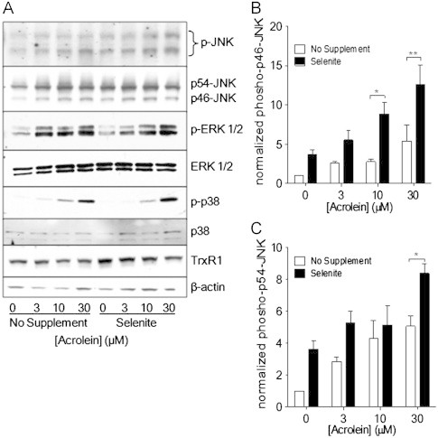 Effect of selenite supplementation on acrolein-induced MAPK activation. Non-supplemented or selenite-supplemented HBE1 cells were treated with indicated concentrations of acrolein for 30 min, and cell lysates were analyzed for p-JNK, p-ERK1/2, and p-p38 by Western blot (A). Band densities of phosphorylated p46-JNK (B) and p56-JNK (C) were quantified relative to total JNK protein. Results are expressed as mean±SEM, n =3. *: p
