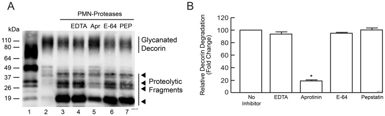 PMN cell released proteases cleave decorin in vitro . PMN cells were isolated from peripheral human blood and treated with vehicle or PMA. Conditioned media were collected and incubated with bovine decorin with or without protease inhibitors for 30 minutes. (A) Representative Western blot of decorin: Lane 1: partially degraded decorin in human skin 24 hours post UV irradiation. Lane 2: Bovine decorin-treated with conditioned media obtained from vehicle-treated PMN cells. Lanes 3–7: bovine decorin incubated with conditioned media obtained from PMA-treated cells with or without various protease inhibitors as indicated. EDTA is an inhibitor of metalloproteinase; Aprotinin (Apr) is an inhibitor of serine protease; E-64 is an inhibitor of cysteine protease; <t>Pepstatin</t> (PEP) is an inhibitor of aspartate protease. Four major decorin fragments are indicated by arrow heads. (b) Quantification of Western blots by ImageQuant software. Data are Western blots lanes 3–7. Results are mean ± SEM, (N = 3; * p