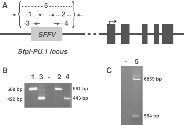 PCR probe to confirm the SFFV integration site within the PU.1 locus. A) Illustration of the multiple verification PCR amplifications using MEL genomic DNA as a template. Black arrows over the SFFV genome (gray box) indicate the pair of primers designed to amplify the SFFV-PU.1 junctions. Odd numbers 1 and 3 represent the primers used to identify the upstream integration junction and even numbers 2 and 4 represent the primers used for the downstream integration. Number 5 represents the long-range PCR (LR-PCR) used as a probe to confirm the complete SFFV integration. Black boxes correspond to the five exons of PU.1; the arrow above exon number one represents the initiation and direction of translation. B) Agarose gel electrophoresis performed using the primers schematized in A ) . C) Agarose gel electrophoresis of the LR-PCR probe to confirm SFFV integration; both the wild type (564 bp) and the integrated allele (6,859 bp) are visualized.