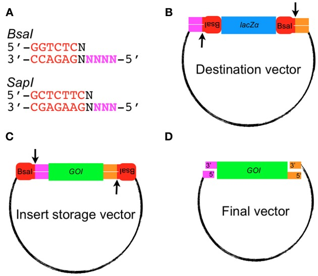 Golden Gate assembly of an insert into the destination vector. (A) Recognition sequences for the Type IIS restriction endonucleases BsaI and SapI . 5′ overhang sequences used for annealing fragments are shown in bold magenta lettering. (B) Example of a Golden Gate-compatible destination vector. Note the orientation of the BsaI sites cause excision of the lacZ α gene. (C) Example of a Golden Gate compatible vector containing a gene of interest (GOI) that will be released after digestion with BsaI . (D) A typical Golden Gate Cloning reaction would involve mixing the destination vector and insert storage vector together into one tube at equal molar ratio with BsaI and T4 DNA ligase. The final vector produced would lack BsaI recognition sequences and be resistant to digestion.