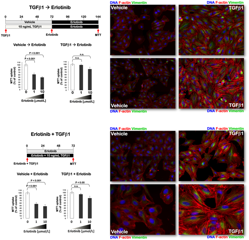 TGFβ1-induced EMT is sufficient to promote refractoriness to erlotinib in PC-9 cells. Left panels. The effects of sequential ( top ) or concurrent ( bottom ) treatment with the EMT inducer TGFβ1 on cell viability of PC-9 cells exposed to erlotinib were measured by MTT uptake assays. Figure shows dose-response graphs as% of untreated cell populations (untreated control cells = 100% cell viability). Results are means ( columns ) and 95% confidence intervals ( bars ) of three independent experiments made in triplicate. Statistically significant differences (one-factor ANOVA analysis) between MTT uptakes in treated and untreated control cells are shown. Statistical tests were two-sided. Right panels. Images show representative portions (n = 3) of control- or TGFβ1-treated PC-9 cell cultures at the start of erlotinib treatment ( top ) or once the treatment with erlotinib is finished ( bottom ) and captured in different channels for F-actin ( red ), vimentin (green), and Hoechst 33258 ( blue ) with a 20 × objective, and merged on BD Pathway 855 Bioimager System using BD Attovision software.