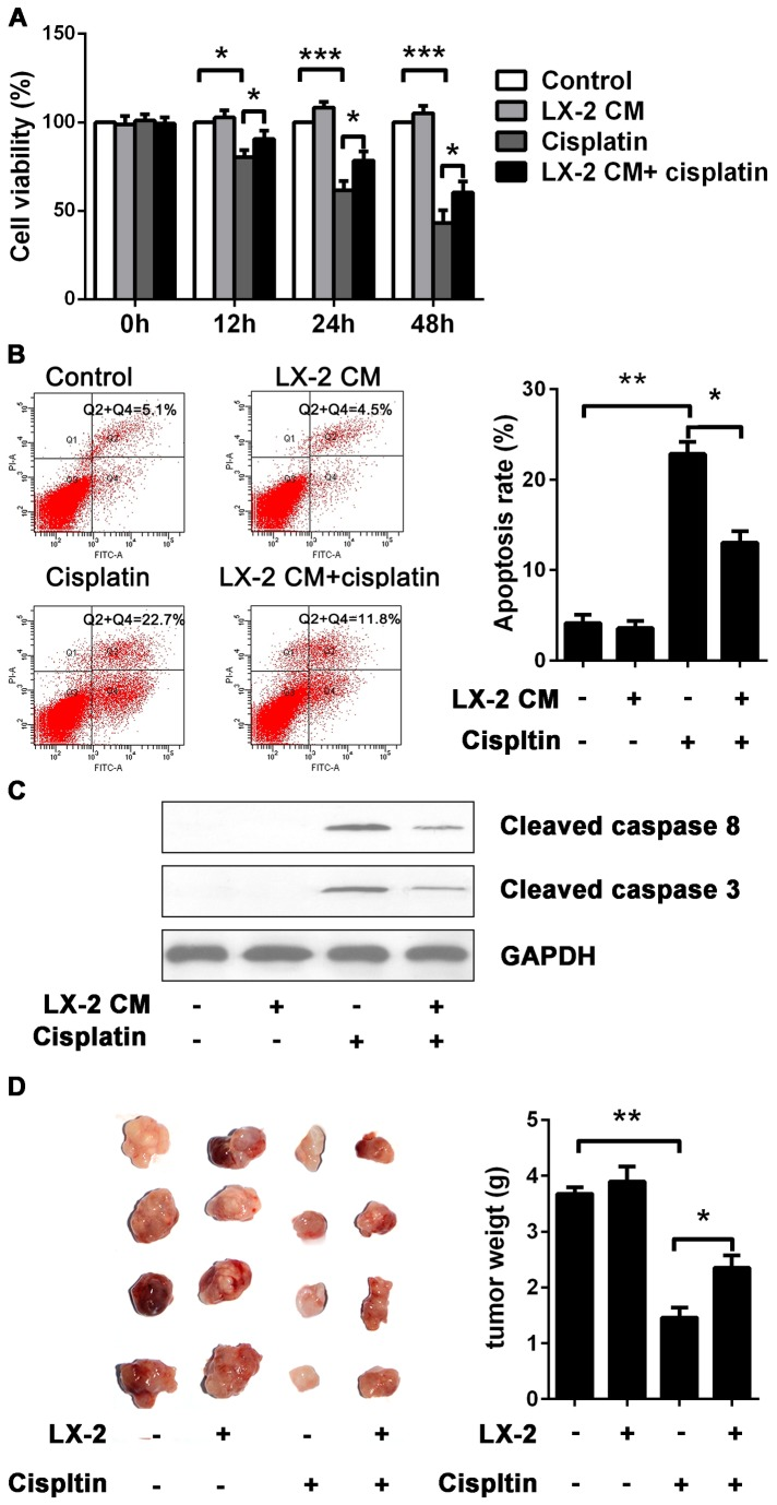 Induction of cisplatin resistance in Hep3B cells by LX-2 cells. (A) The effect of LX-2 CM on cisplatin-induced cell proliferation arrest. Hep3B cells were treated with cisplatin at the concentration of 10 µg/ml for 12, 24 and 48 h with or without LX-2 CM exposure. Cell viability was measured by using a CCK8 assay. Compared to Hep3B cells cultured in normal medium, cisplatin induced cytotoxicity was markedly attenuated in Hep3B cells upon LX-2 CM exposure. (B) Anti-apoptotic effect of LX-2 CM on cisplatin-induced apoptosis. Hep3B cells with or without LX-2 CM exposure were treated with cisplatin at the concentration of 10 µg/ml for 24h. The apoptosis rate was determined by using flow cytometry with Annexin V-FITC and PI double staining. In response to cisplatin, Hep3B cells incubated in LX-2 CM showed lower apoptosis rate than that in normal medium. (C) Western blot analysis of active caspase 8 and 3, GAPDH as internal control. Cisplatin induced caspase 8 and 3 activation products were profoundly reduced when it collaborated with LX-2 CM exposure. (D) HSCs modulate chemoresistance of HCC in vivo. Hep3B cells were subcutaneously injected or co-injected with LX-2 cells into nude mice to form xenografts. In response to cisplatin treatment, tumors from mice of co-injection with Hep3B cells and LX-2 cells were larger and heavier than that of single injection with Hep3B cells. *p