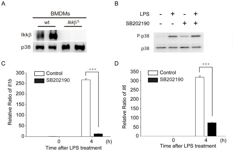 Depletion of IKKβ expression and inhibition of p38 signaling pathway in Ikkβ Δ and SB202190-treated bone marrow-derived macrophages (BMDMs). (A) Immunoblotting of IKKβ and p38 from BMDMs isolated from wild-type (wt; Ikkβ F/F ) and Ikkβ Δ mice. (B) Immunoblotting of p38 and phosphorylated p38 from wt BMDMs treated with LPS (100 ng/mL) in the absence or presence of SB202190 (10 µM) for 2 h. (C D) mRNA expression levels of IL-1β and IL-6 were inhibited in SB202190-treated BMDMs after LPS treatment. The expression levels of Il1b (C) and Il6 (D) were determined from wt BMDMs treated with LPS (100 ng/mL) for 4 h in the absence or presence of SB202190 (10 µM) for 2 h using real-time RT-PCR. Data represent the mean ± SEM for three independent experiments. ***, P