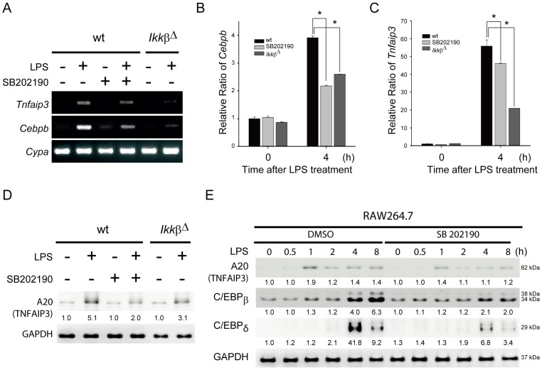 C/EBPβ and A20 (TNFAIP3) were suppressed in Ikkβ Δ and p38-inhibited macrophages. (A–C) Expression levels of Tnfaip3 and Cebpb mRNA were decreased in Ikkβ Δ and p38-inhibited BMDMs in response to LPS. BMDMs from wt and Ikkβ Δ cells treated with or without SB202190 (10 µM) were stimulated with LPS (100 ng/mL) for 4 h. Total RNAs were isolated and analyzed by semi-quantitative RT-PCR (A) or quantitative real-time RT-PCR for expression of Cebpb (B) and Tnfaip3 (C) mRNAs. Results were normalized to Cyclophilin A ( Cypa ) and are presented relative to expression in wt BMDMs. * P