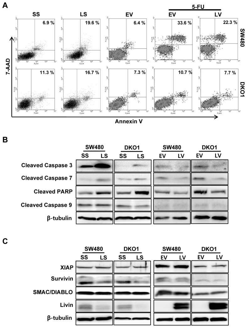 The impact of Livin on apoptosis in human colorectal cancer cells. (A) The proportion of apoptotic cells induced by transfection of LS was greater than that induced by transfection of SS (6.9 vs. 19.6%) in SW480 cells but Livin knockdown had a minimal influence on apoptosis (11.3 vs. 16.7%) in DKO1 cells. Overexpression of Livin by transfection of LV inhibited the apoptosis of SW480 cells in response to 5-FU but overexpression of Livin had a minimal influence on apoptosis in DKO1 cells (B) Expression of cleaved caspase-3, -7, -9, and PARP proteins. The caspase-3, -7 and PARP expression was increased in SW480 and DKO1 cells after Livin knockdown, and decreased after overexpression of Livin (C) Expression of apoptosis regulatory proteins. Survivin protein level decreased following Livin knockdown in SW480 and DKO1 cells, but XIAP and SMAC/DIABLO protein levels were not altered in response to Livin knockdown. Additionally, Survivin, XIAP and SMAC/DIABLO protein levels were not altered after overexpression of Livin. PARP; Poly (ADP-ribose) polymerase, XIAP; X-chromosome binding IAP, SMAC/DIABLO; second mitochondria-derived activator of caspases/direct IAP binding protein with low pI, SS; scramble siRNA, LS; Livin siRNA, EV; Empty-pcDNA3.1, LV; pcDNA3.1-Livin, 5-FU; 5-fluorouracil, 7-AAD; 7-amino-actinomycin D.