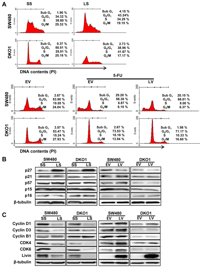 The impact of Livin on cell cycle arrest in human colorectal cancer cells. (A) Livin knockdown resulted in cell cycle arrest in the G0/G1 phase of SW480 cells and the S phase of DKO1 cells. 5-FU treatment induced cell cycle arrest in the subG1 phase of SW480 and the G0/G1 phase of DKO1 cells. Overexpression of Livin inhibited 5-FU-induced cell cycle arrest in SW480 cells and had a minimal influence in DKO1 cells. One representative experiment of the three independent experiments is shown. (B) Expression of cyclin-dependent kinase (CDK) inhibitor proteins. The p27 protein level was significantly increased by Livin knockdown and decreased by overexpression of Livin in SW480 and DKO1 cells. However, p21, p57, p15 and p16 protein levels were not altered in response to knockdown or overexpression of Livin. (C) Expression of cyclins and cyclin-dependent kinase (CDKs) proteins. Cyclin D1, cyclin D3, CDK4 and CDK6 protein levels were significantly decreased by Livin knockdown and increased the cyclin D1 and CDK4 by overexpression of Livin in SW480 and DKO1 cells. SS; scramble siRNA, LS; Livin siRNA, EV; Empty-pcDNA3.1, LV; pcDNA3.1-Livin.