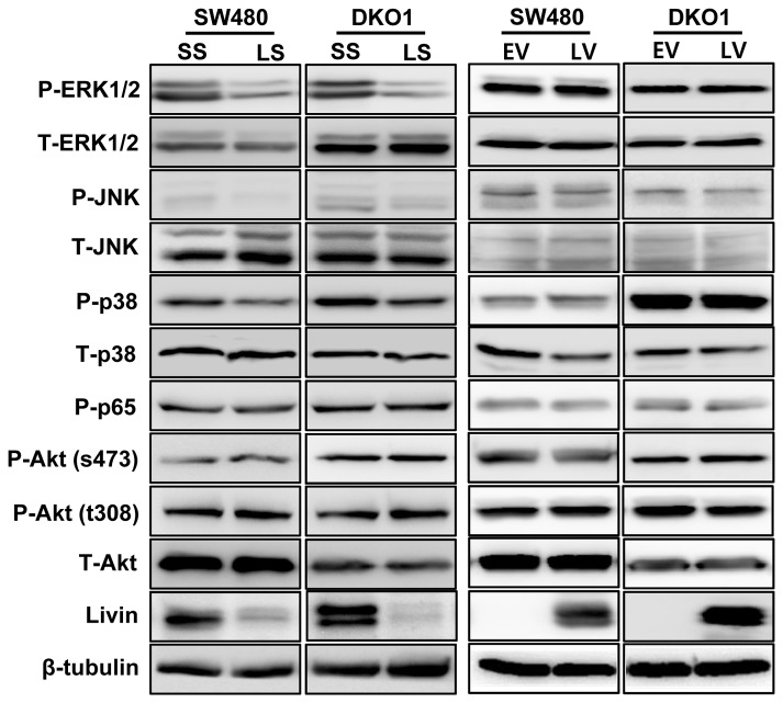 The impact of Livin on intracellular signaling pathways involved in apoptosis and cell cycle arrest of human colorectal cancer cells. The phosphorylation levels of ERK1/2, JNK and p38 decreased following Livin knockdown of SW480 and DKO1 cells. But Akt and p65 the phosphorylation levels showed no change following Livin knockdown. Additionally, ERK1/2, JNK, p38, Akt and p65 phosphorylation levels were not changed by overexpression of Livin. SS; scramble siRNA, LS; Livin siRNA, EV; Empty-pcDNA3.1, LV; pcDNA3.1-Livin.