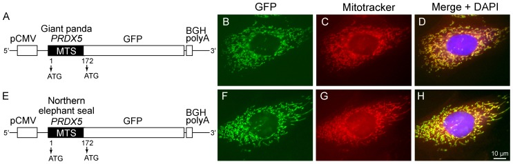 Subcellular localization of giant panda (A–D) and northern elephant seal (E–H) PRDX5 MTS expressed in fusion with GFP in MDCK cells. Structure of the constructs cloned into mammalian expression vector pcDNA3.1 and used for MDCK transfection (A and E). Both alternative ATG initiation codons are indicated (arrows). Transfected cells were examined for GFP fusion expression (B and F). Mitochondria were stained with <t>Mitotracker</t> Red (C and G) and nuclei were counterstained with DAPI. BGH polyA , bovine growth hormone polyadenylation signal; GFP , green fluorescent protein; MTS, mitochondrial targeting sequence; pCMV , promoter of cytomegalovirus.