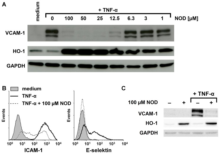Influence of NOD on the expression of adhesion molecules and HO-1. (A) HUVECs were stimulated for 24 hrs with 10 ng/ml of TNF-α in the presence of different concentrations of NOD. The expression of VCAM-1 and HO-1 was assessed by western blotting. GAPDH was used as loading control. (B) HUVECs were stimulated as described in A. The expression of ICAM-1 and E-selectin was assessed by FACS analysis. (C) To demonstrate that the induction of HO-1 by NOD was independent of TNF-α, HUVECs were stimulated for 24 hrs with 10 ng/ml of TNF-α alone, 100 µM of NOD alone or in combination of both. HUVECs cultured in medium served as control. The expression of VCAM-1 and HO-1 was assessed by western blotting. The results shown in A, B and C are representative experiments. A total of 6 independent experiments with different HUVEC cultures were performed. All westernblots have been scanned and statistics was performed on the ratio of the optical density of protein of interest/optical density of GAPDH. Significant inhibition of VCAM-1 expression occurred at concentrations above 12.5 µM and HO-1 induction already at 1 µM ( p