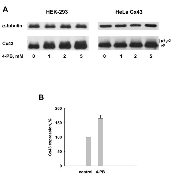(A) Western blot analysis of HEK-293 (left panel) and HeLa Cx43 (right panel) cells using polyclonal Cx43 antibody. Lines from left to right correspond to 0, 1, 2, and 5 mM 4-PB, respectively. Anti-α tubulin is shown as a reference indicator. (B) Summary of Western blot data from four experiments with HEK-293 control cells and cells exposed to 5 mM 4-PB. Upon exposure to 5 mM 4-PB Cx43 expression increased to 166 ± 11% which was statistically significant ( p = 0.029) in comparison to the control cells (0 mM 4-PB) where Cx43 expression was assumed to be 100%.